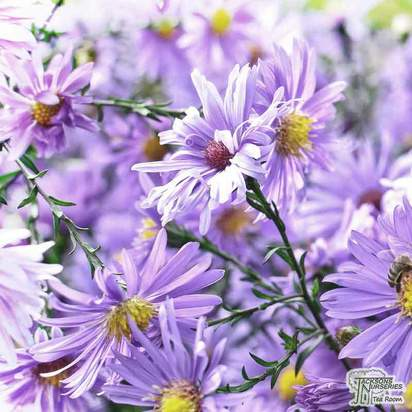 Buy Aster 'Little Carlow' (Michaelmas Daisy) online from Jacksons Nurseries