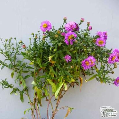 Buy Aster novi-belgii Jenny (Michaelmas Daisy) online from Jacksons Nurseries