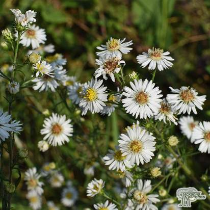 Buy Aster novi-belgii 'White Ladies' online from Jacksons Nurseries