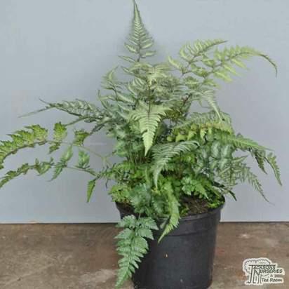 Buy Athyrium niponicum var. pictum (Painted fern) online from Jacksons Nurseries.