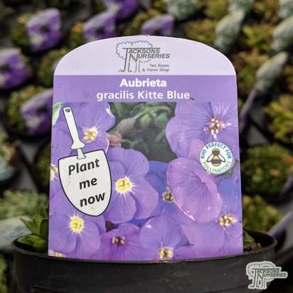 Buy Aubrieta 'Kitte Blue' online from Jacksons Nurseries