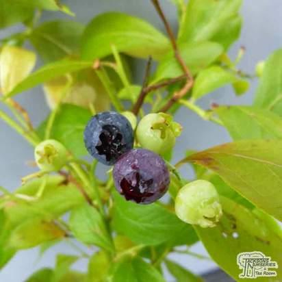 Buy Blueberry - Vaccinium corymbosum Earliblue online from Jacksons Nurseries