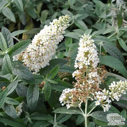 Buy Buddleja 'Dreaming White' (Butterfly Bush) online from Jacksons Nurseries