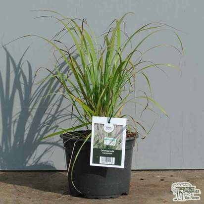 Buy Calamagrostis brachytricha (Korean Feather Reed Grass) online from Jacksons Nurseries.