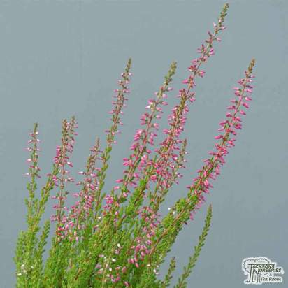 Buy Calluna vulgaris Anette (Scots Heather) online from Jacksons Nurseries