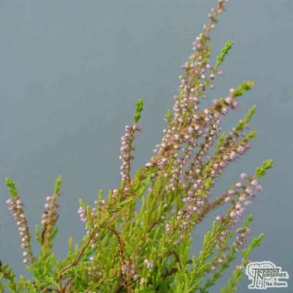 Buy Calluna vulgaris Blazeaway (Scots Heather) online from Jacksons Nurseries
