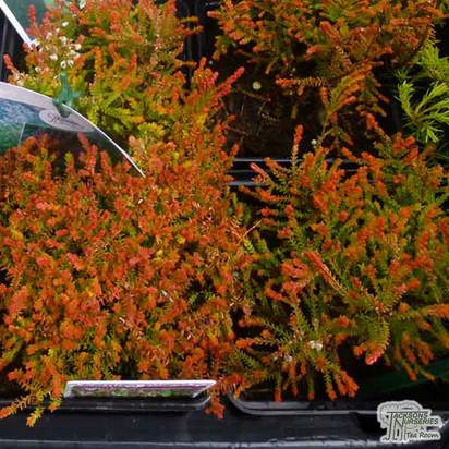 Buy Calluna vulgaris Cuprea (Scots Heather) online from Jacksons Nurseries