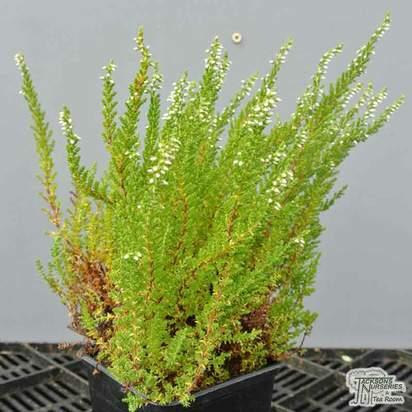 Buy Calluna Vulgaris 'Hammondii Aureifolia' (Heather) online from Jacksons Nurseries.