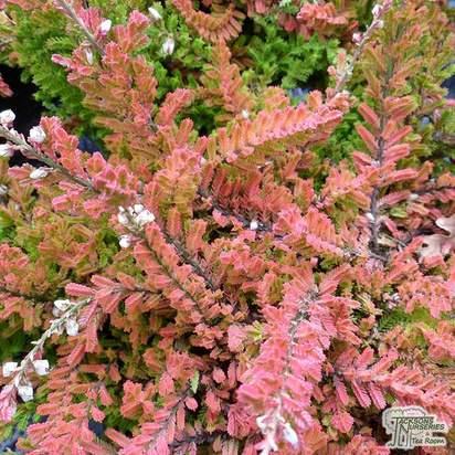 Buy Calluna vulgaris Wickwar Flame online from Jacksons Nurseries