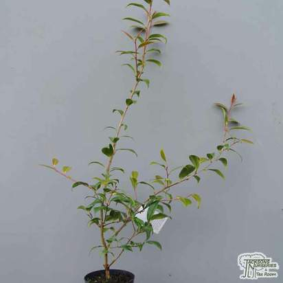 Buy Camellia x williamsii 'Tristrem Carlyon' (Camellia) online from Jacksons Nurseries
