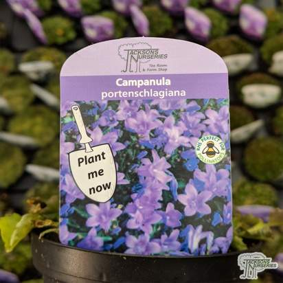 Buy Campanula portenschlagiana online from Jacksons Nurseries