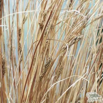 Buy Carex buchananii online from Jacksons Nurseries