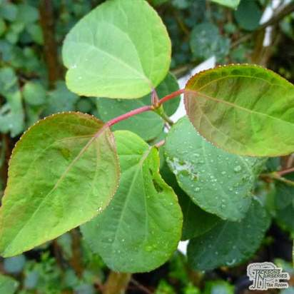 Buy Cercidiphyllum japonicum (Katsura Tree / Candyfloss Tree) online from Jacksons Nurseries