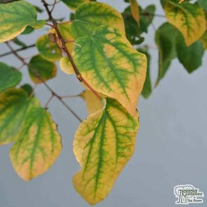 Buy Cercidiphyllum japonicum (Katsura Tree / Candyfloss Tree) online from Jacksons Nurseries