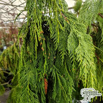 Buy Chamaecyparis nootkatensis 'Pendula' online from Jacksons Nurseries