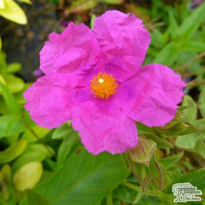 Buy Cistus pulverulentus Sunset (Rock Rose) in the UK