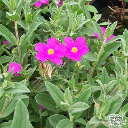 Buy Cistus pulverulentus Sunset (Rock Rose) in the UK