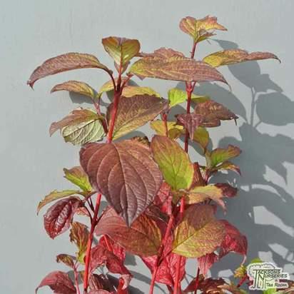 Buy Cornus alba Sibirica (Red-barked Dogwood) online from Jacksons Nurseries