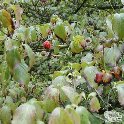 Buy Cornus kousa Bare Root (Chinese Dogwood) online from Jacksons Nurseries