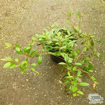 Buy Cotoneaster dammeri (Shrub) online from Jacksons Nurseries