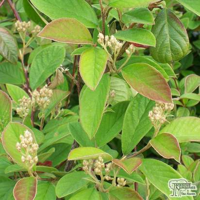 Buy Cotoneaster lacteus (Shrub) online from Jacksons Nurseries