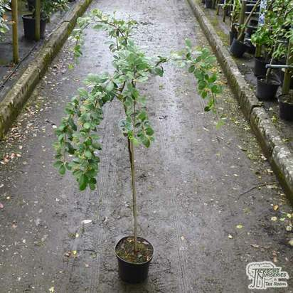 Buy Cotoneaster lacteus (Tree) online from Jacksons Nurseries