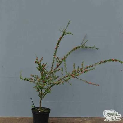 Buy Cotoneaster microphyllus at Jacksons Nurseries
