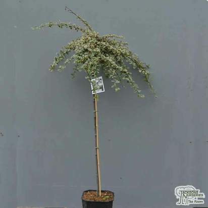 Buy Cotoneaster x suecicus 'Juliette' (Topiary) in the UK at Jacksons Nurseries