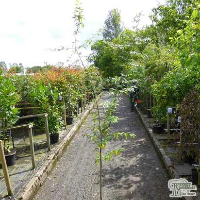 Buy Cotoneaster x watereri (Cotoneaster) online from Jacksons Nurseries