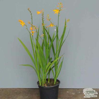 Crocosmia × crocosmiiflora 'George Davison'