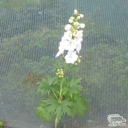 Buy Delphinium 'Magic Fountain White' (Delphinium) online from Jacksons Nurseries