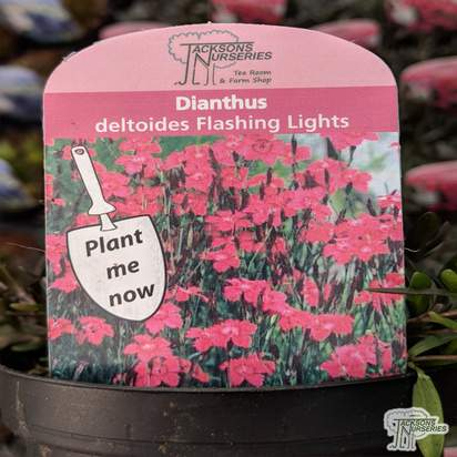 Buy Dianthus deltoides Flashing Lights (Pink) online from Jacksons Nurseries