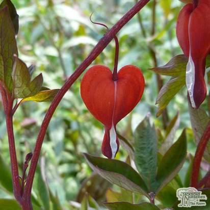 Buy Lamprocapnos spectabilis 'Valentine' (Dicentra) (Bleeding Heart) online from Jacksons Nurseries