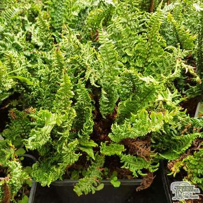 Buy Dryopteris affinis Dryopteris affinis 'Congesta Cristata' (Scaly Male Fern) online from Jacksons Nurseries
