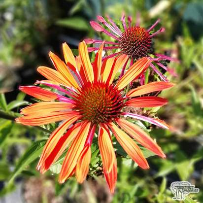 Buy Echinacea 'Hot Summer' (Coneflower) online from Jacksons Nurseries.