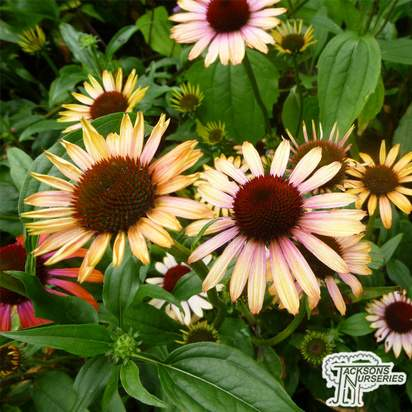 Buy Echinacea Purpurea' Rainbow Marcella' (Coneflower) online from Jacksons Nurseries.