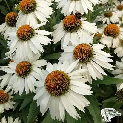 Buy Echinacea purpurea 'White Meditation' (Coneflower) online from Jacksons Nurseries.