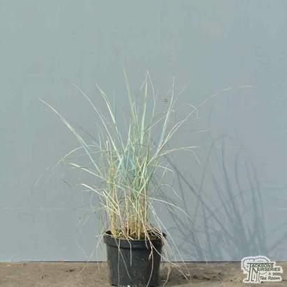 Buy Elymus magellanicus online from Jacksons Nurseries