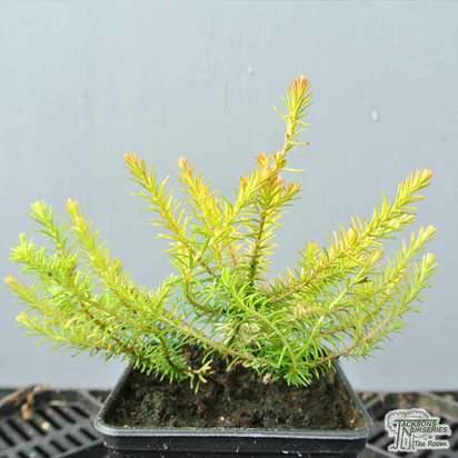 Buy Erica carnea f. aureifolia Foxhollow (Heather) online from Jacksons Nurseries