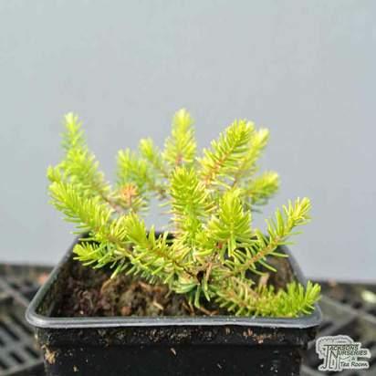 Buy Erica carnea f. alba Golden Starlet (Heather) online from Jacksons Nurseries