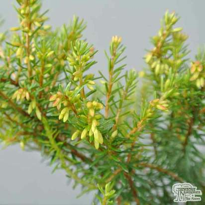 Buy Erica carnea Loughrigg (Winter Heath Heather) online from Jacksons Nurseries