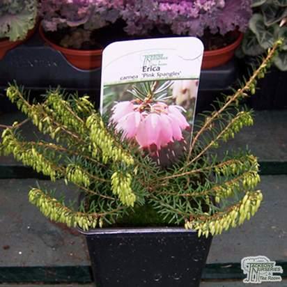Buy Erica carnea Pink Spangles (Heather) online from Jacksons Nurseries
