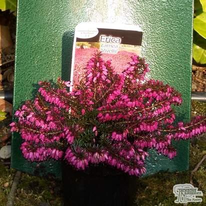 Buy Erica carnea Vivellii (Winter Heath Heather) online from Jacksons Nurseries
