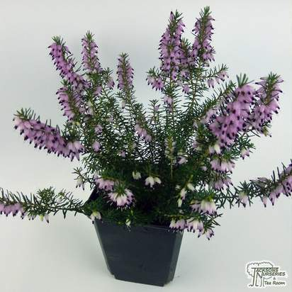 Buy Erica x darleyensis J. W. Porter (Heather) online from Jacksons Nurseries