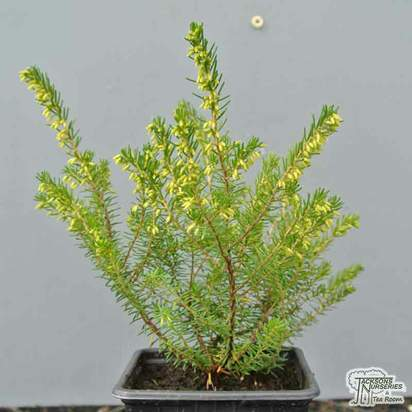 Buy Erica x darleyensis 'Silberschmelze' (Darley Dale Heath Heather) online from Jacksons Nurseries