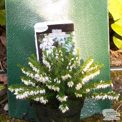 Buy Erica x darleyensis f. albiflora White Perfection (Heather) online from Jacksons Nurseries