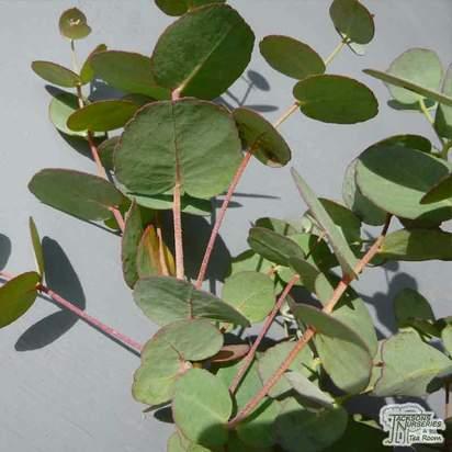 Buy Eucalyptus gunnii (Gum Tree (Cider Gum)) online from Jacksons Nurseries