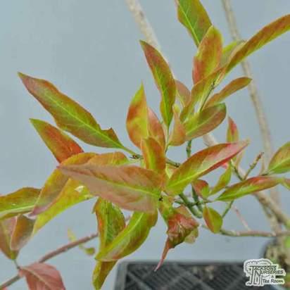 Buy Euonymus europaeus at Jacksons Nurseries