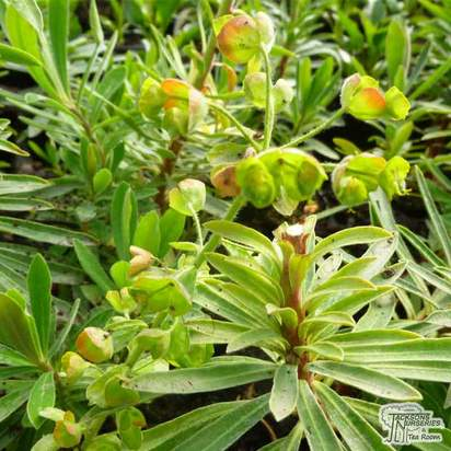 Buy Euphorbia characias subsp. 'Humpty Dumpty' (Spurge) online from Jacksons Nurseries