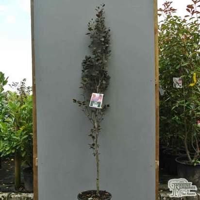 Buy Fagus sylvatica Dawyck Purple (Tree) (Purple Fastigiate Beech) online from Jacksons Nurseries